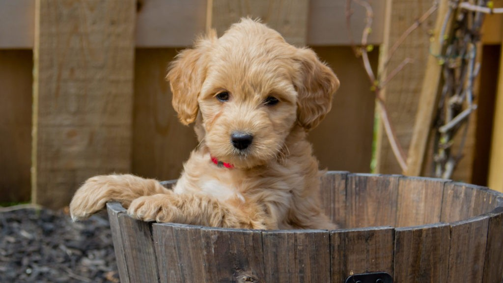 You will find this breed of puppy in our puppies for sale along with many more loveable pups at All Star Family Pups.