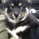 Great experience with Emily when adopting our pomsky puppy.