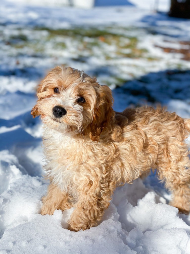 Cavapoo Puppy Customer Review