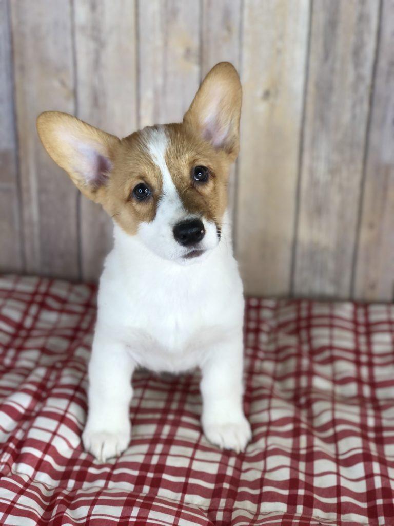 puppies for sale in cedar rapids ia landing page