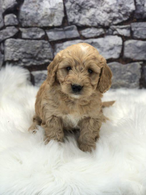 puppies for sale near hoboken nj