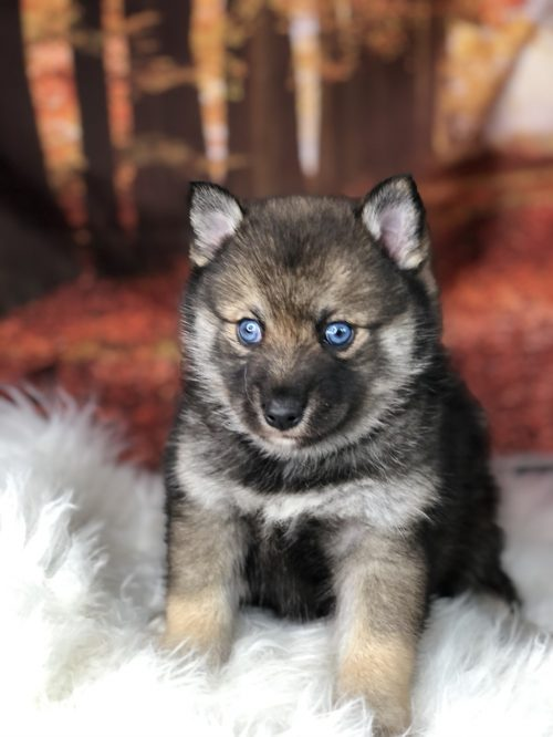 puppies for sale near chattanooga tn
